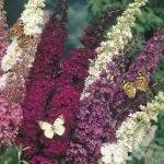 Butterfly Bush Mixed Colors