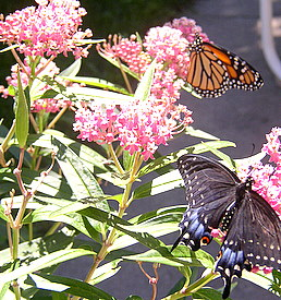 swallowtail and monarch on milkweed