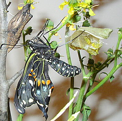 just hatched black swallowtail butterfly