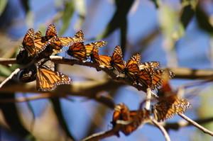 monarch butterflies pismo beach
