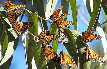 monarch on flower