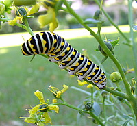 Butterfly Host Plants - Caterpillar Food Attracts Butterflies