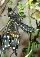 black swallowtail butterfly just hatched