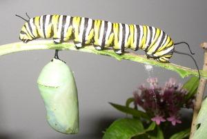 monarch chrysalis