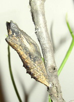 black swallowtail chrysalis