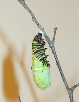 monarch-chrysalis