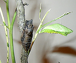 butterfly emerging chrysalis