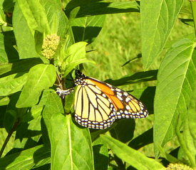monarch lays egg