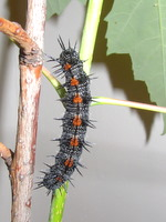 mourning cloak caterpillar