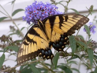 Swallowtail on Butterfly Bush