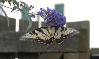 Backside of Swallowtail