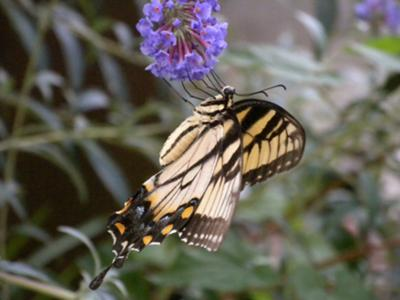 Swallowtail's side profile
