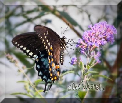My Black Swallowtail Butterfly