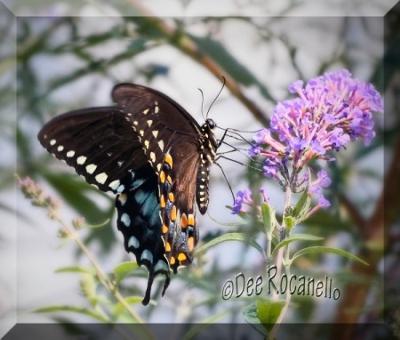 My Black Swallowtail Butterfly