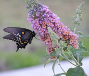 butterfly bush swallowtail