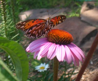 Gulf Fritillary on Purple Cone Flower
