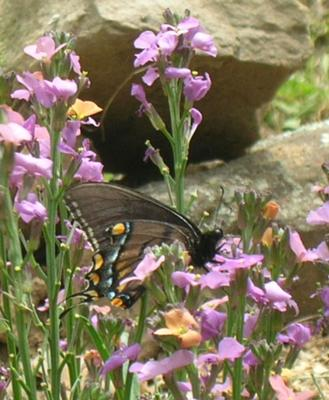 Female Tiger Swallowtail on Wall Flower