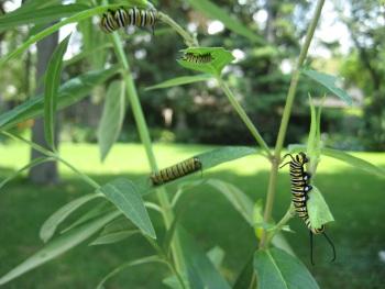 Monarchs love Scarlet Milkweed (Tropical Milkweed)!