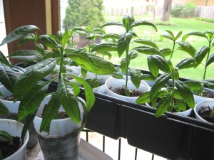topical milkweed plants 2 months