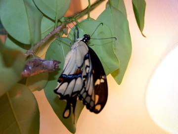 Newly Emerged Giant Swallowtail Butterfly!