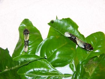 Giant Swallowtail Caterpillars