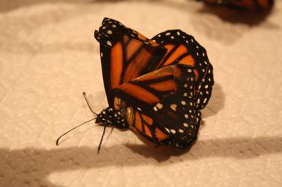 Monarch Butterfly OE
