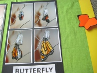 Ideas for Bulletin Boards Monarch Butterfly Stages