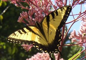 pictures of butterflies yellow swallowtail