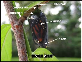 monarch chrysalis anatomy