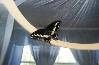 My first butterfly born 07/10/09.     A beautiful male black swallowtail butterfly !