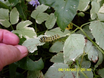 Two Days Ago While Watering My Gardens I Saw A Black Swallowtail  Caterpillar On My Snow On The Mountain Plants.