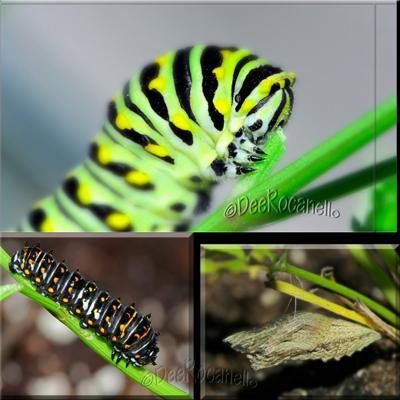 Black Swallowtail Caterpillar Just Before Making Chrysalis.