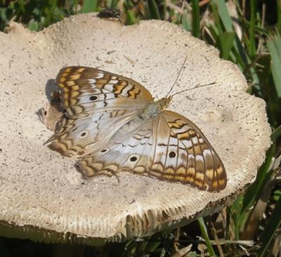 White Peacock Butterfly - Anartia jatrophae