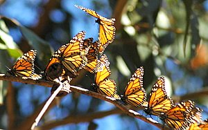 monarch migration