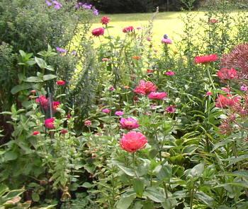 zinnia flowers in butterfly garden