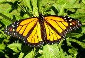 monarch male