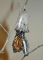 monarch-hatching