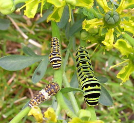 black swallowtail caterpillar stages