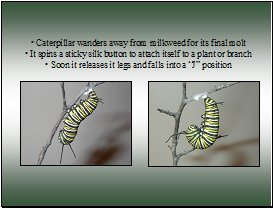 monarch caterpillar J position
