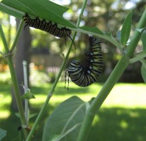 Monarch Butterfly Caterpillar Pupates on Milkweed