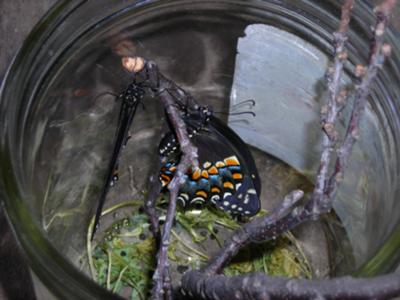 Two Butterflies, One Chrysalis